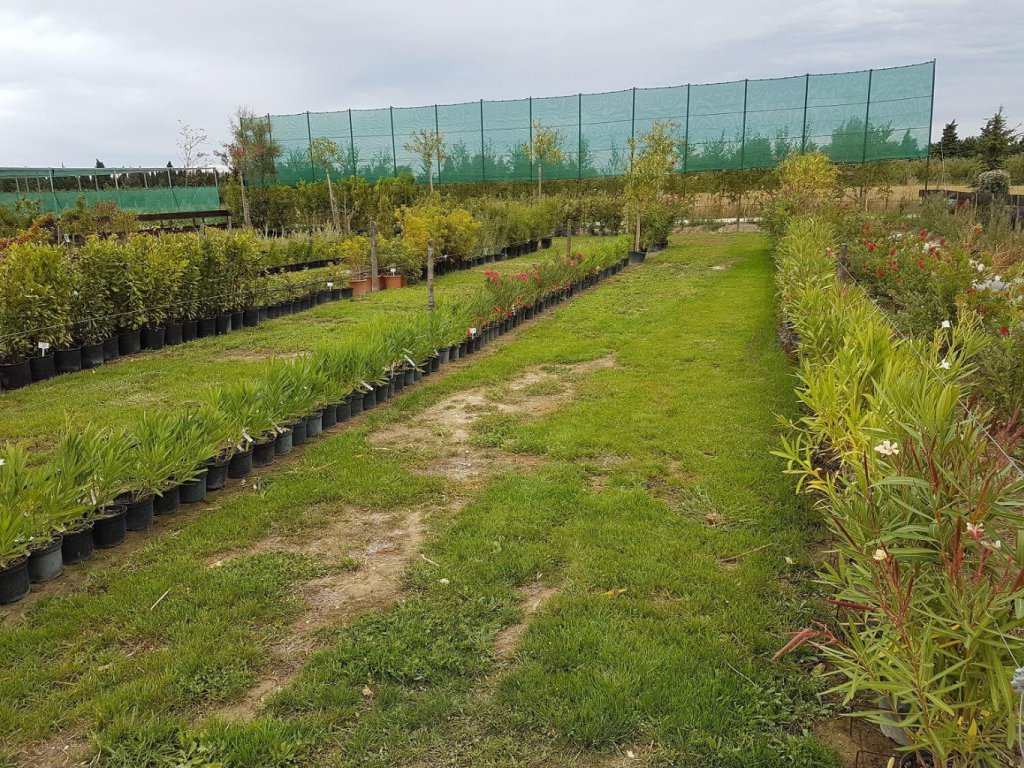 Pepiniere camargue p pini re jardinerie arles - Engrais laurier rose ...