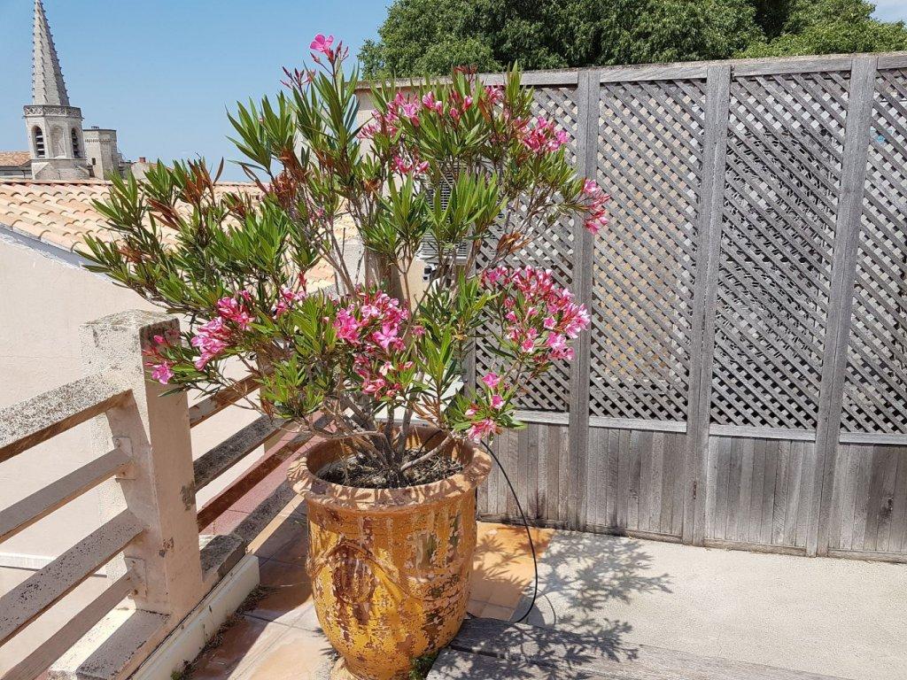 Plantation arles pepiniere - Arrosage laurier rose en pot ...
