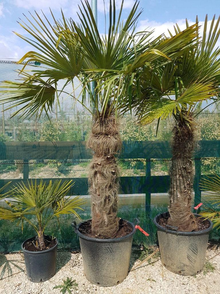 palmier 1m