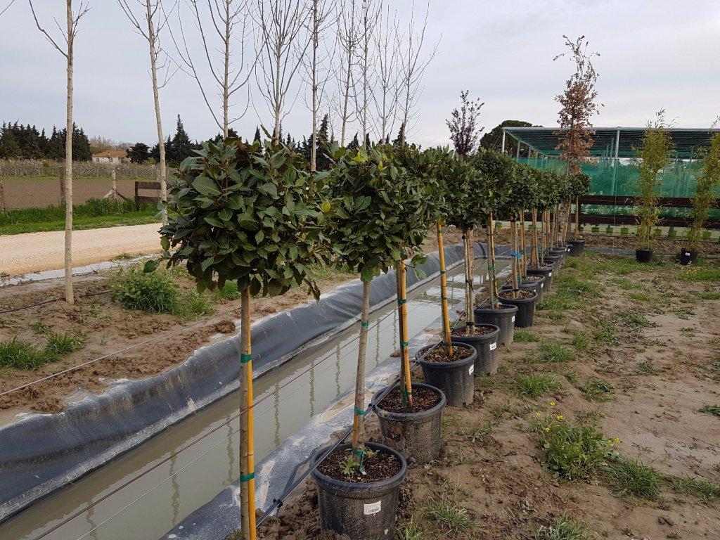 Plantes tige pepiniere - Engrais laurier rose ...