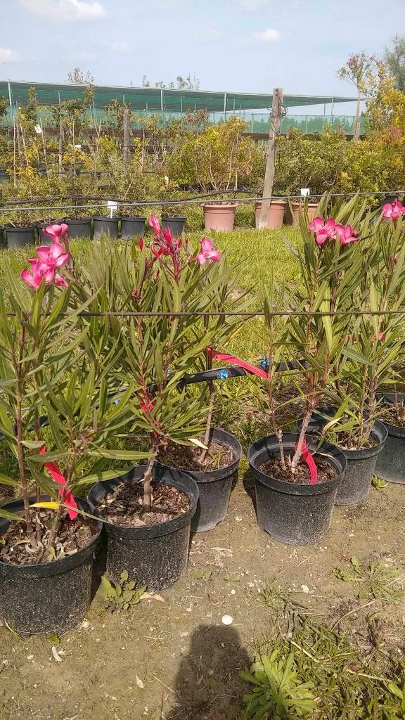 Laurier rose pepiniere - Engrais laurier rose ...