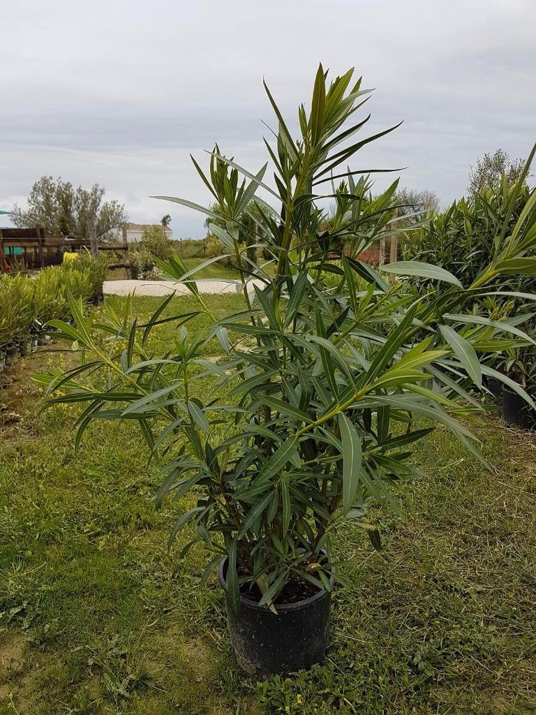 Plantes haie pepiniere - Engrais laurier rose ...