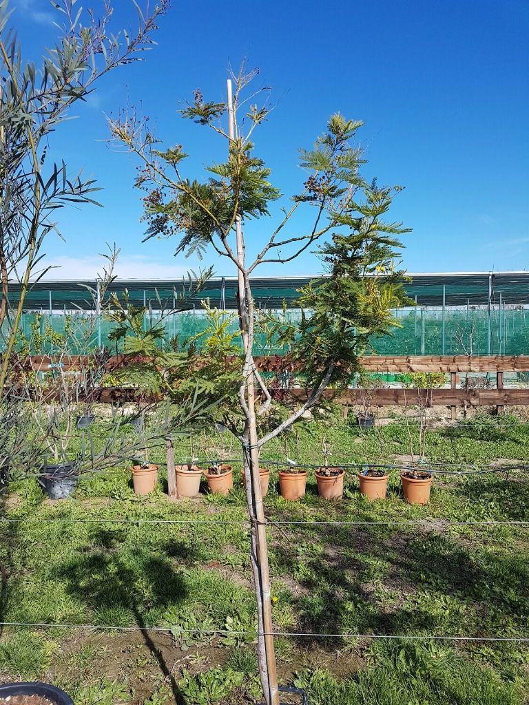 Arbres croissance rapide beautiful un trs grand arbre rsistant croissance rapide qui donne de - Arbres et arbustes a croissance rapide ...