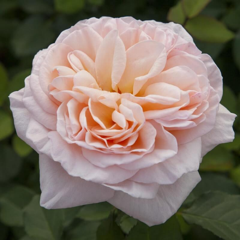 Rosier Belle Romantica